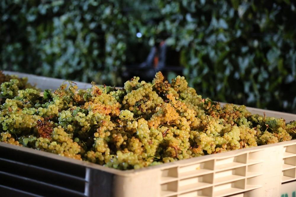 Chardonnay de veelzijdige klassieker uit Bourgogn